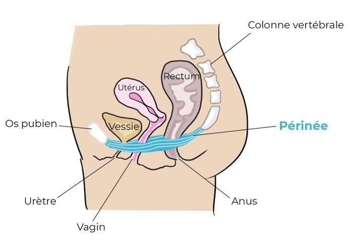 dessin de l'anatomie d'un corps de femme avec vagin et muscle du périnée