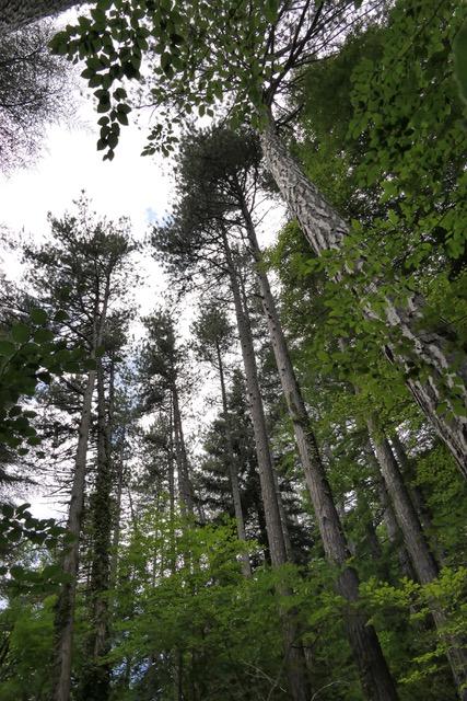 forêt de Saoû